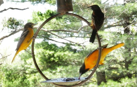 3 Birds on a Bird Feeder